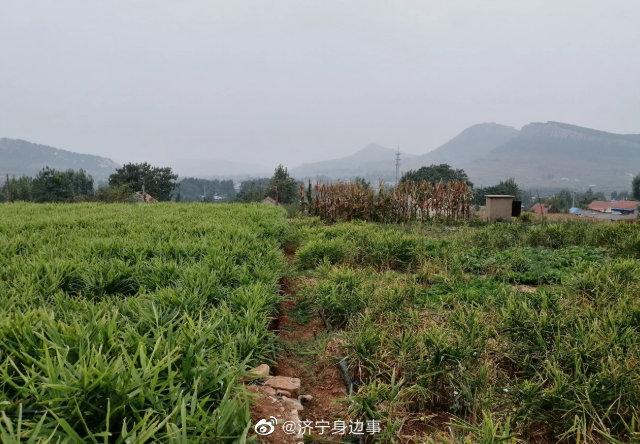济宁市泗水县南陈村黄姜马上收获了