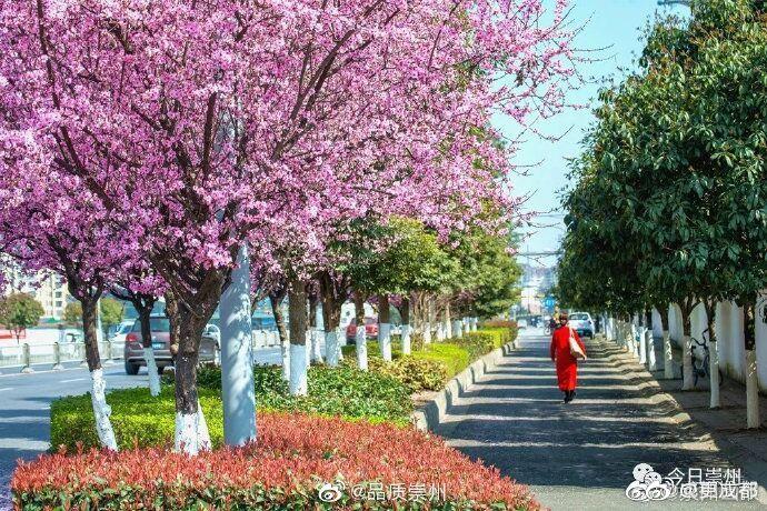 崇州金盆地大道,落英缤纷,洋洋洒洒,是初见春天羞涩的娇羞