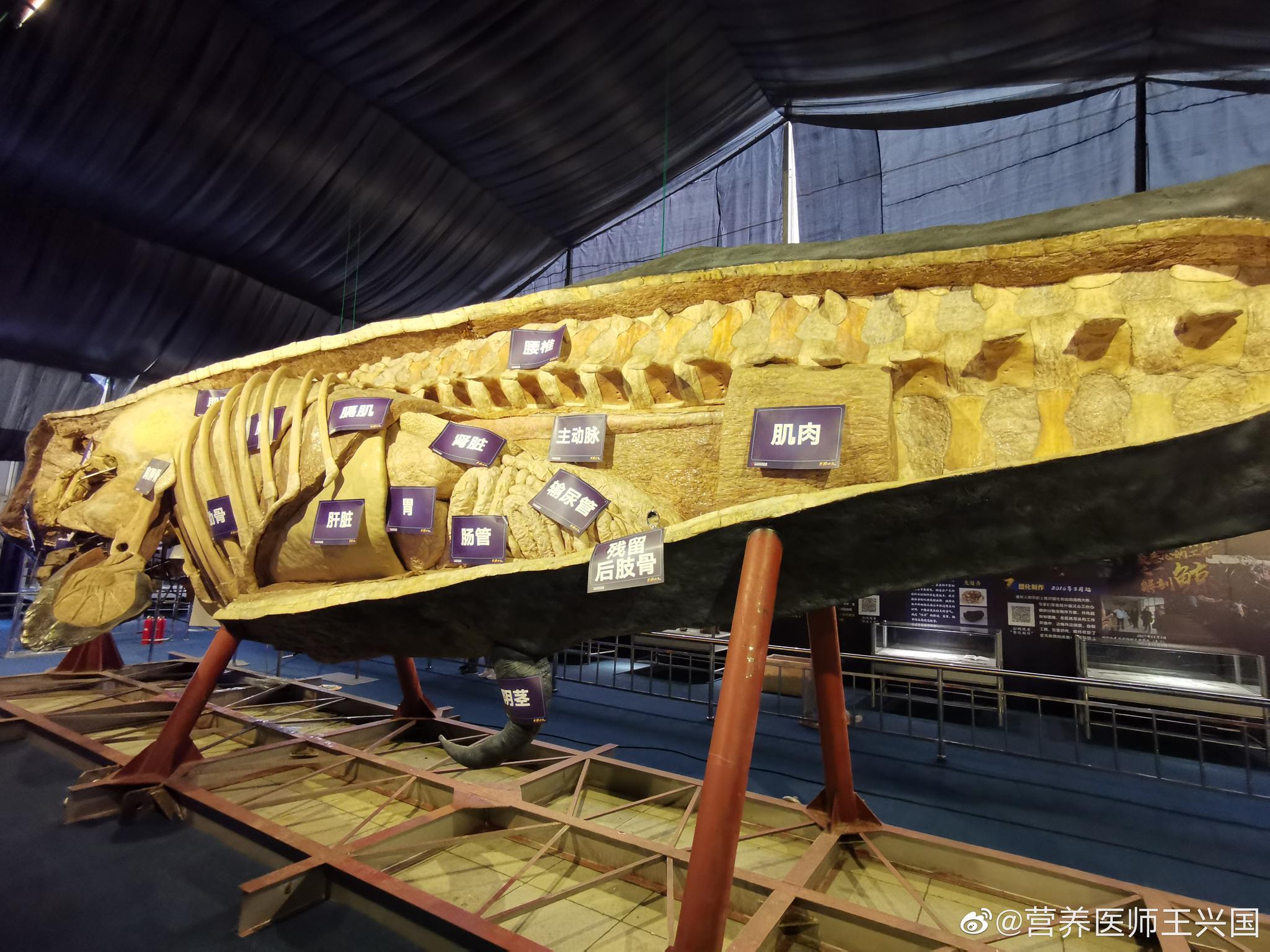 巨大抹香鲸塑化标本,不但是第一奇观,也是极好的科普机会