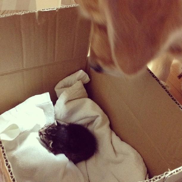 这只被金毛带大的流浪猫,它慈爱的眼神真的让人融化了!