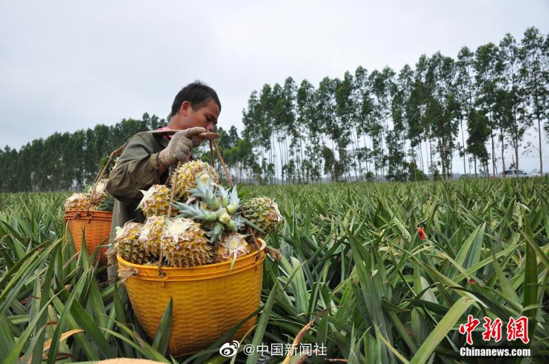 """醉美!快来中国大陆最南端看""""菠萝的海"""""""