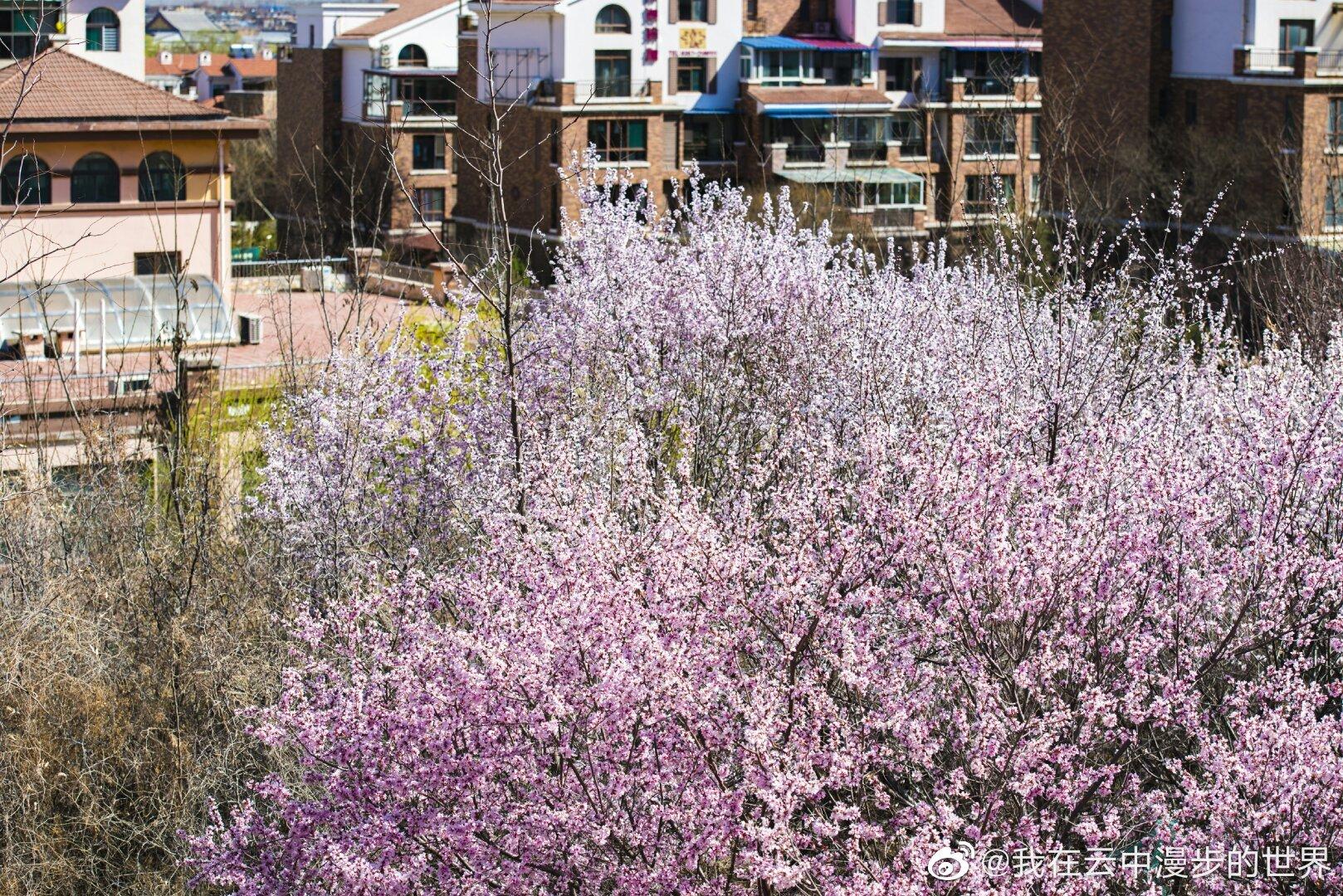 临汾市东城莱茵半岛门口的山桃花