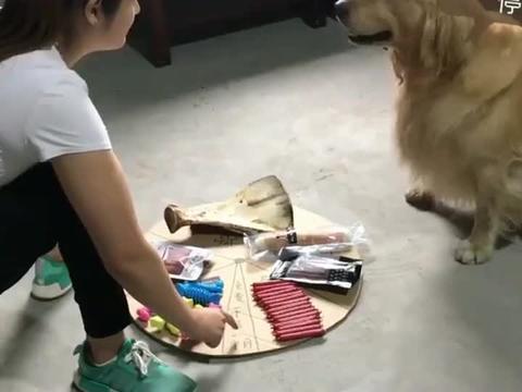 和主人玩大转盘,金毛被套路得一愣一愣的