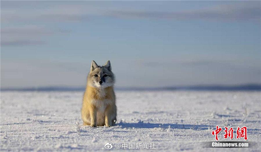 围观!萌态可掬的小沙狐