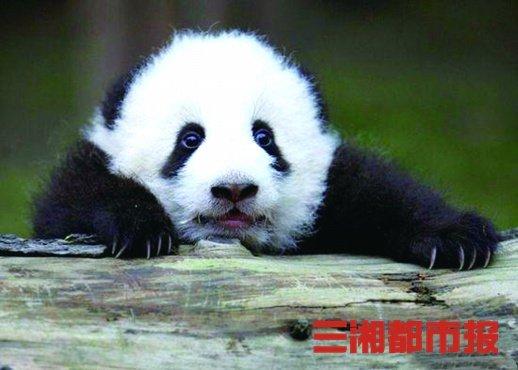 8只!8只!8只大熊猫安家湖南凤凰!