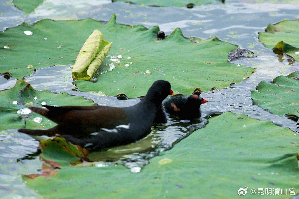 荷塘里的黑水鸡母子@中国图库冯飞燕 @镜界 @内拉在路上 @玩家尔玛 @