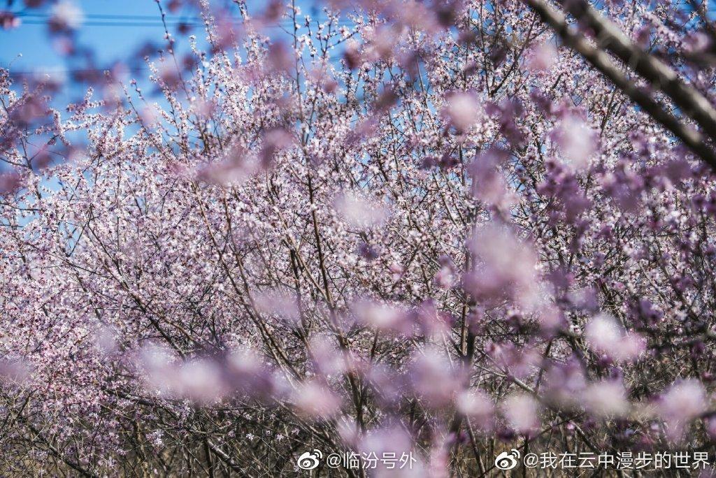 临汾市东城莱茵半岛门口的山桃花 @我在云中漫步的世界 摄