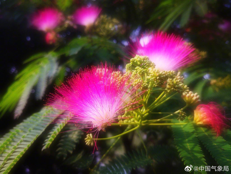 合欢花,它就像是一把粉红的折扇,棱角分明的扇骨