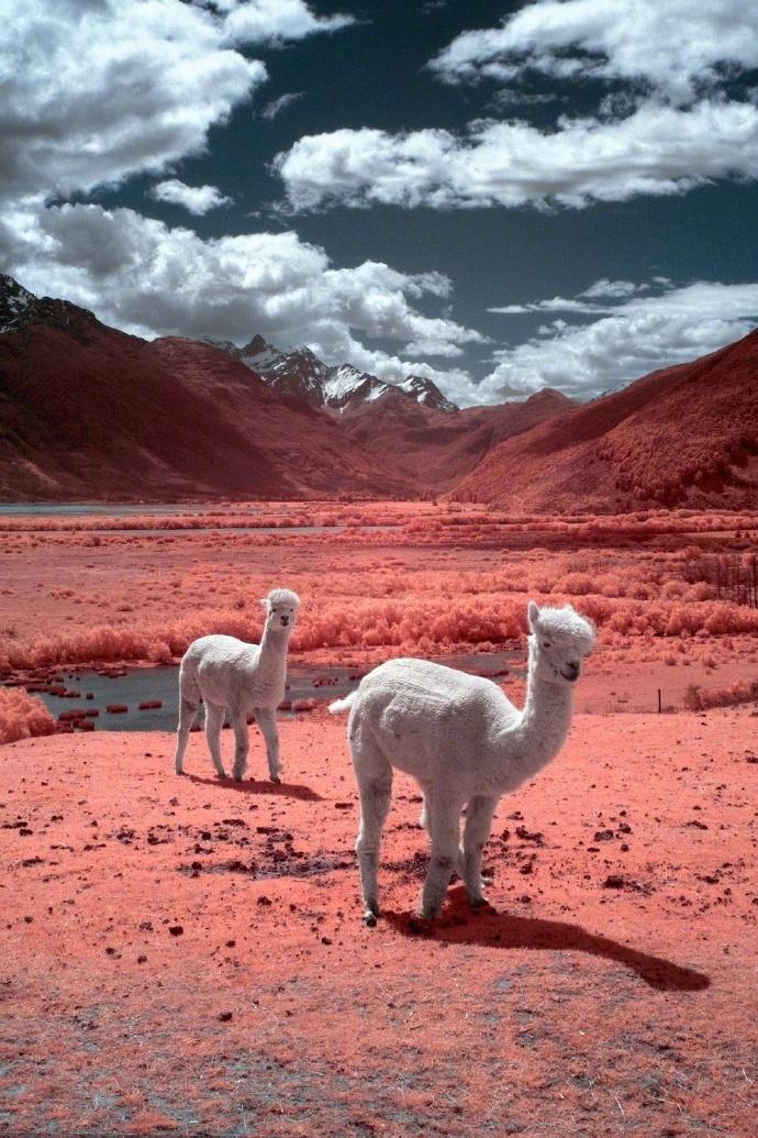 好想融化在新西兰这样的粉色当中