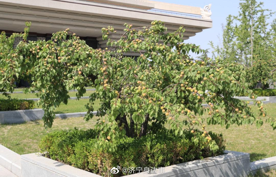 杏坛的杏丰收了!来孔子博物馆打卡,感受千年以来的杏坛之光