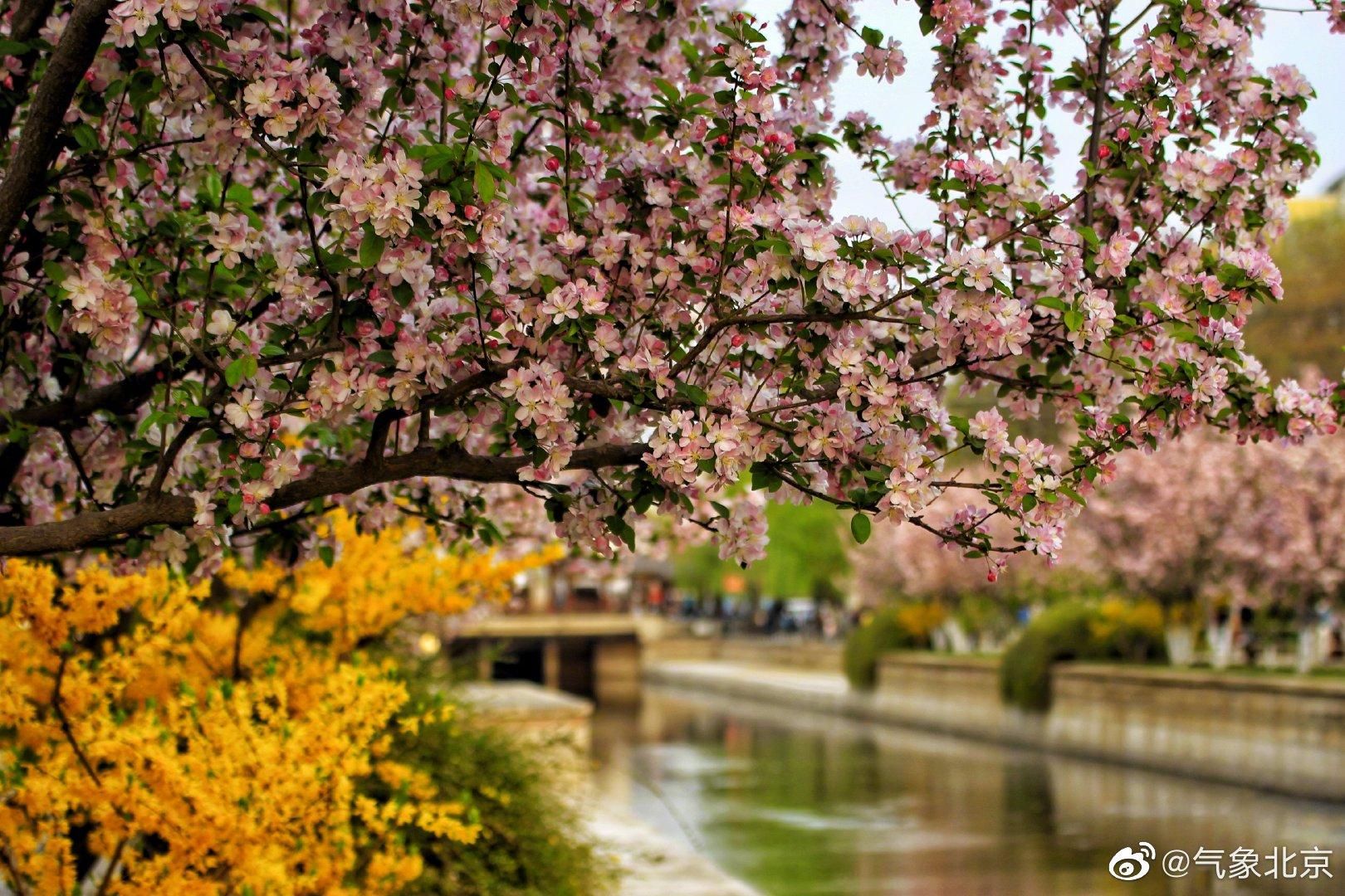 又是人间四月天,花开时节动京城。(拍摄:梁伟)