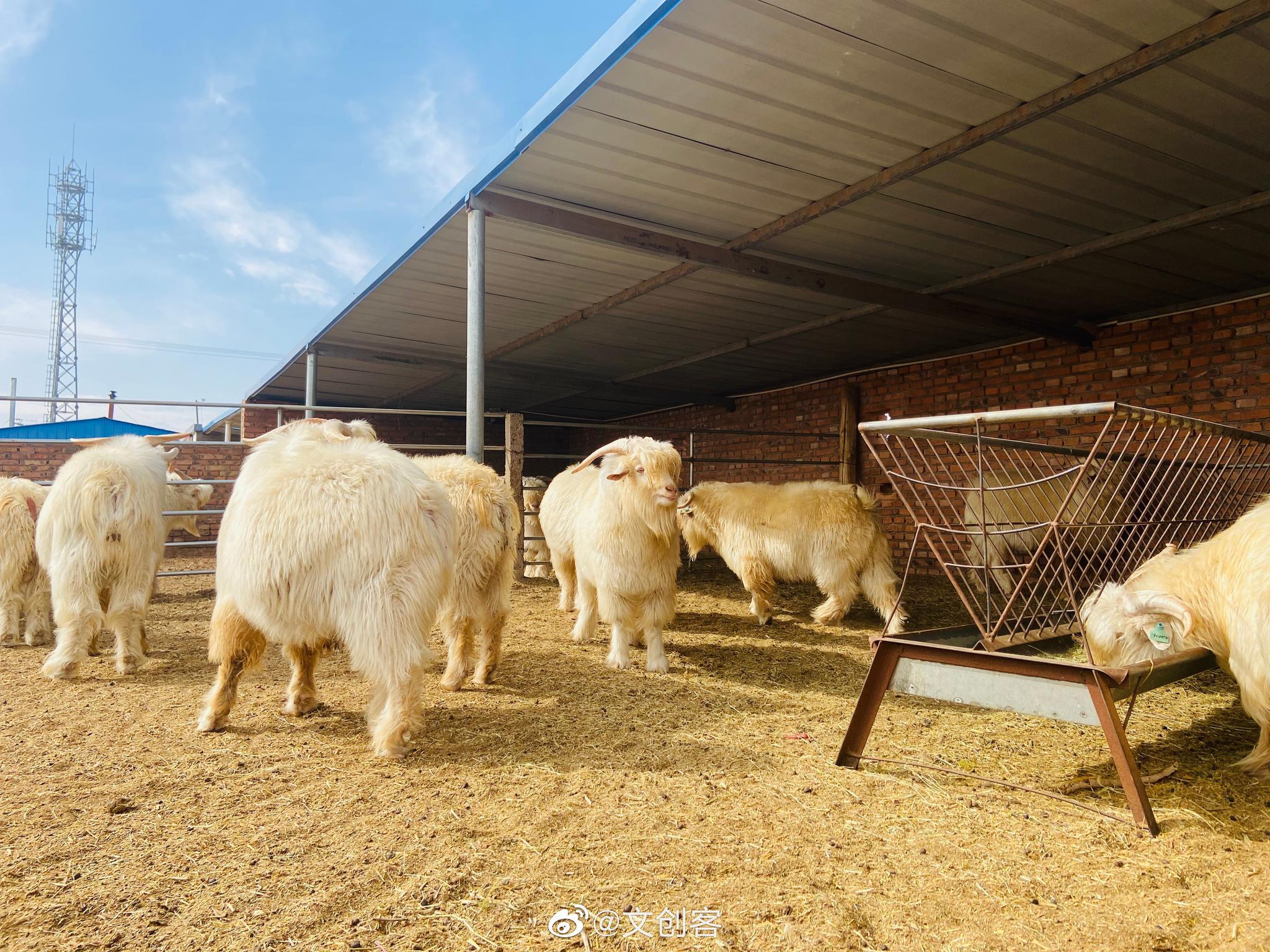 """伊旗苏布尔嘎镇""""敏盖""""白绒山羊特色产业基地"""