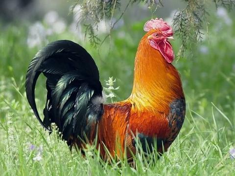 鸡年出生的人配什么生肖好,菩萨钦点姻缘,看一眼就是一生