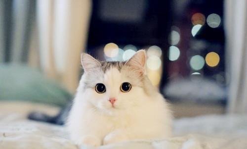 膀胱 症状 猫 炎