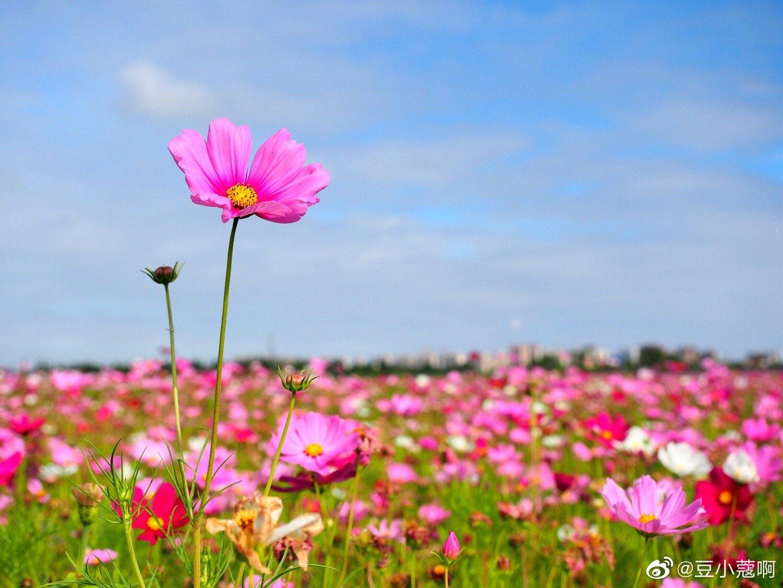 奉贤上海之鱼公园,大片的波斯菊,向日葵,马鞭草盛开,花海向阳