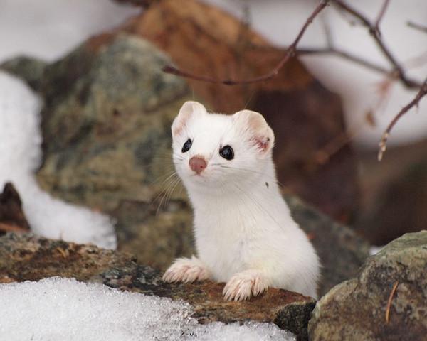 小吃货雪鼬,一个随时都会饿的世界上最小肉食哺乳动物