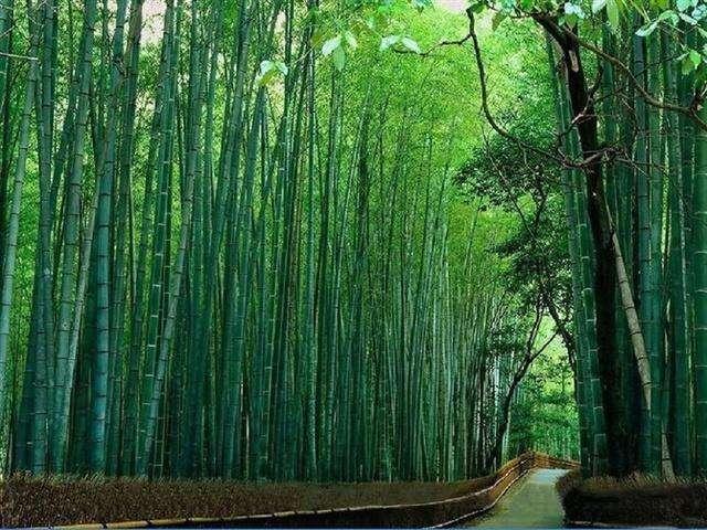 竹子和树一样高 但属于草本植物 最大的