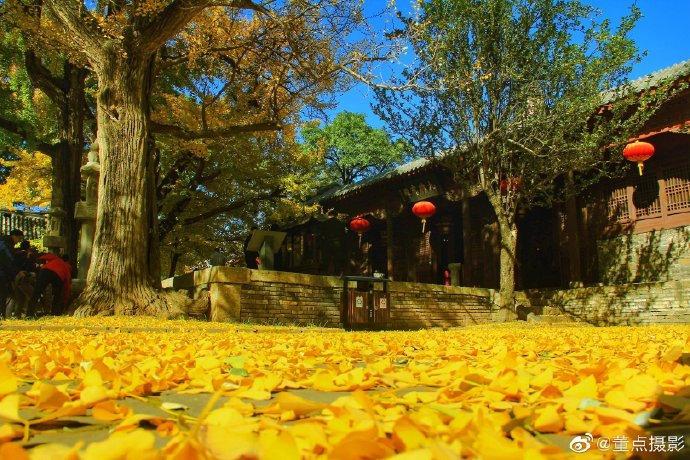 秋天大概就是最温柔的季节了,济南长清大灵岩寺的银杏树