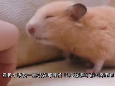 金丝熊在沙发上睡觉,主人叫他回窝睡,结果小家伙还生气了