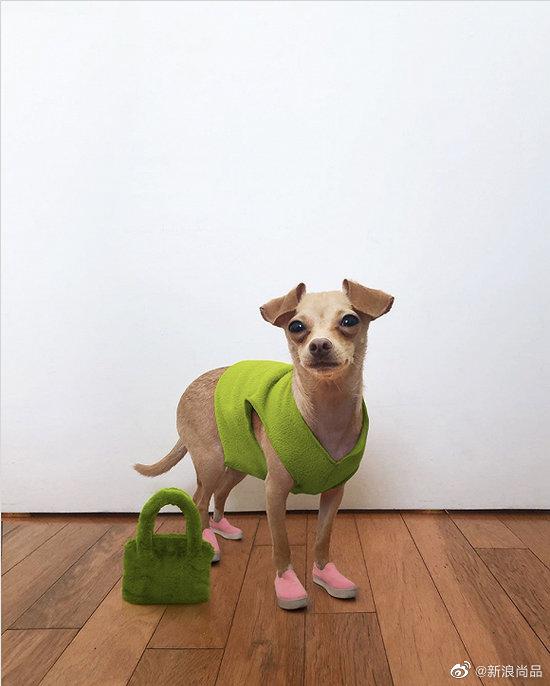 在Ins上拥有超过25万粉丝的灵缇吉娃娃混血犬Boobie Billie