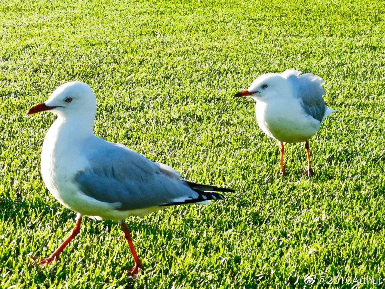 """如果你搜索""""悉尼海鸥"""""""