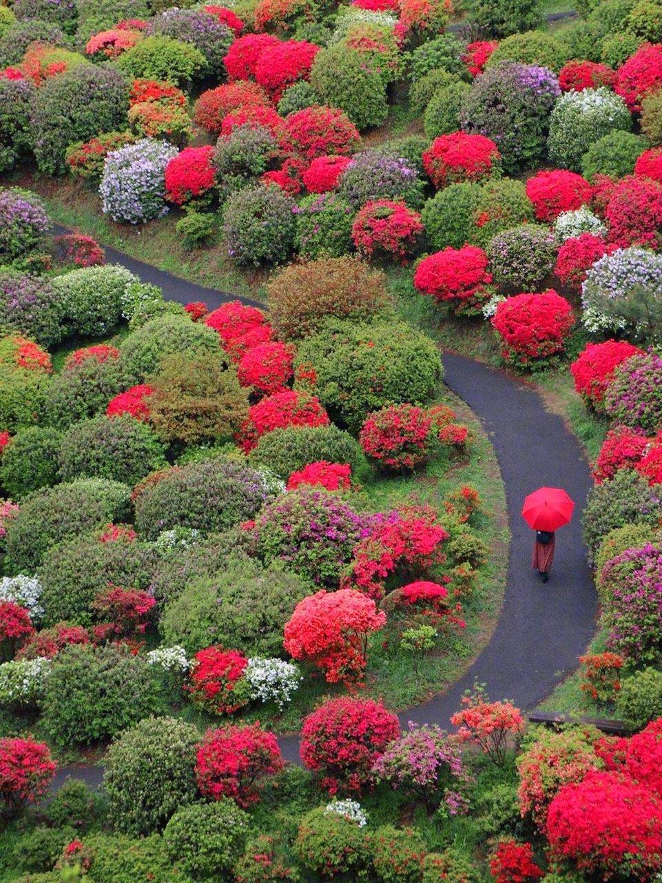 日本,盐船观音寺的杜鹃花,美爆了图片来源网络