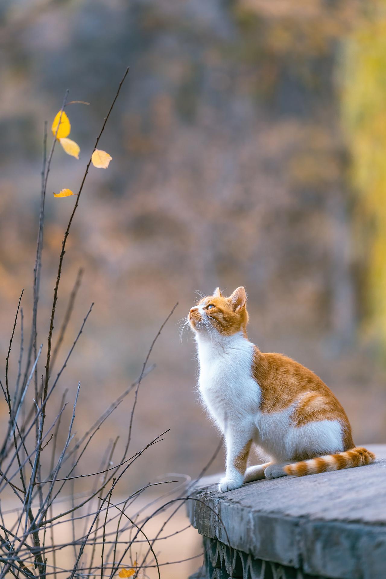 比秋色更美的是,当秋色遇见猫摄影:@喵呜不停