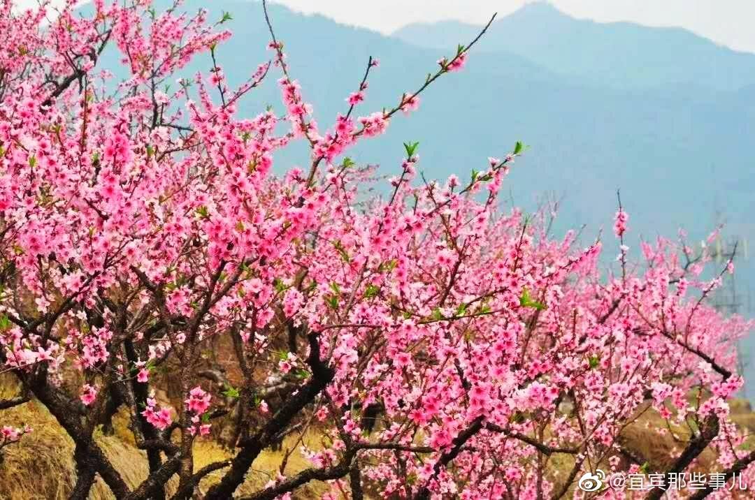 宜宾七星山上桃花,还有新增的郁金香花海都开啦,漂亮的很