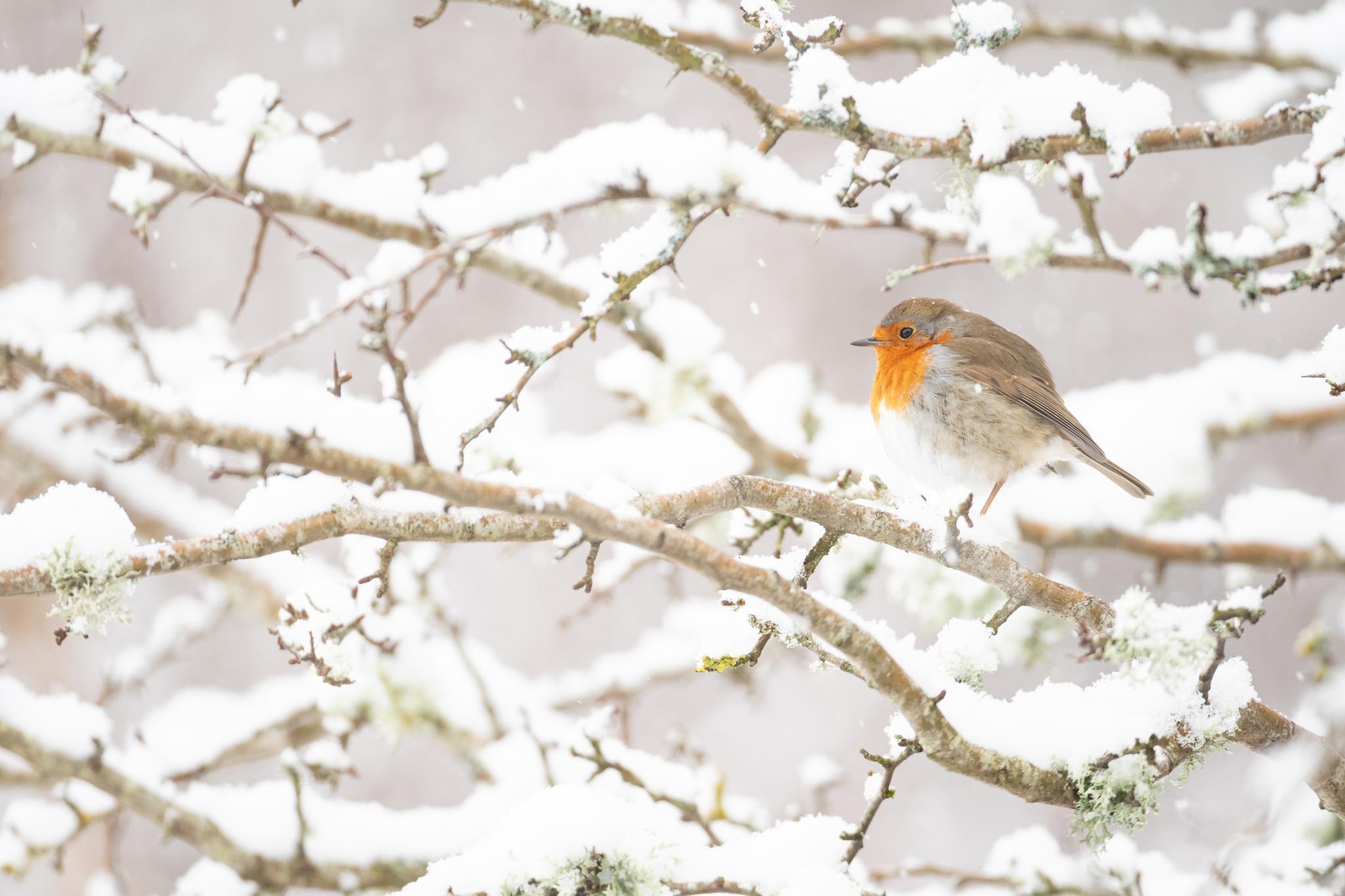 英国威尔士大雪丨鸟儿伫立枝头静如画