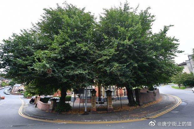 英国最牛路灯立在大树中间,当地议会认为错在于树,要把它砍了