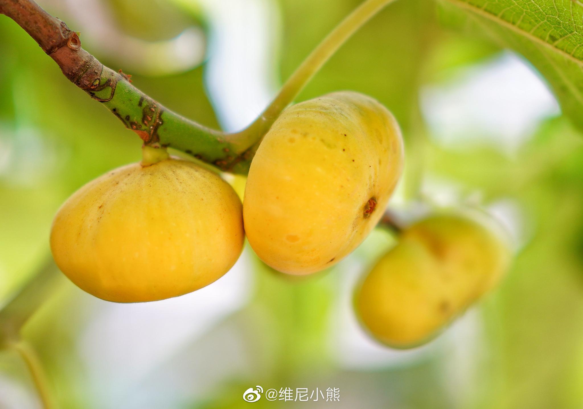 500年的五花果树,距和田市区22公里,号称挂在树上的糖包子