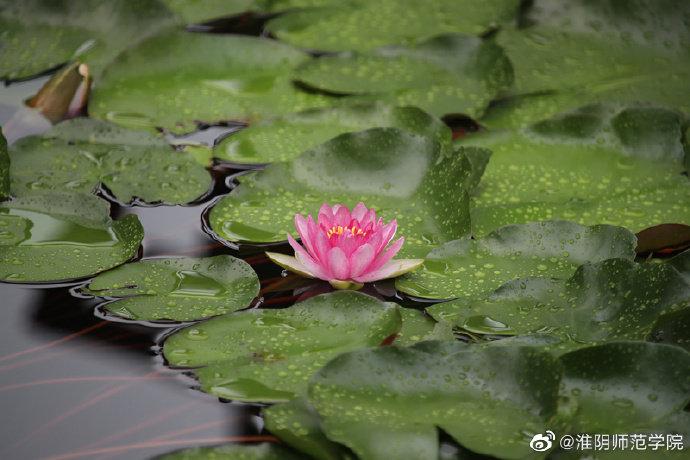 好风微雨,夏荷含香。@淮阴师范学院 镜月湖畔,荷花在悄悄开放。