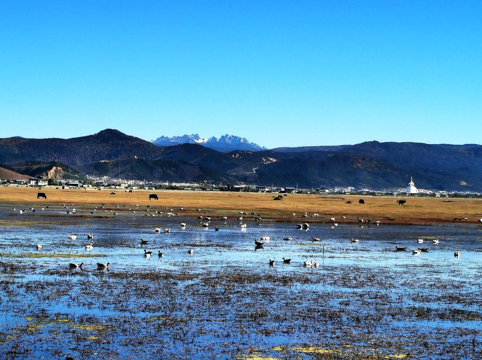 图一,下午在香格里拉纳帕海拍到的天鹅,它们的归来