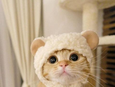 这只小橘猫名叫做布丁,它虽然是短腿,但出爪的速度特别快.....