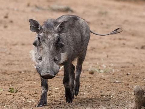 生肖运势,属猪人4月在感情上会受到很大的打击