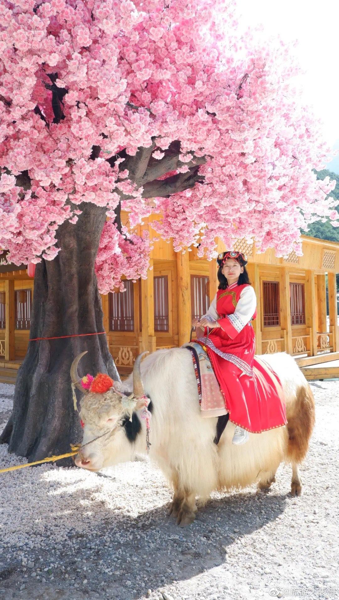 玉龙雪山脚下,蓝月谷网红树下,骑着白色的牦牛