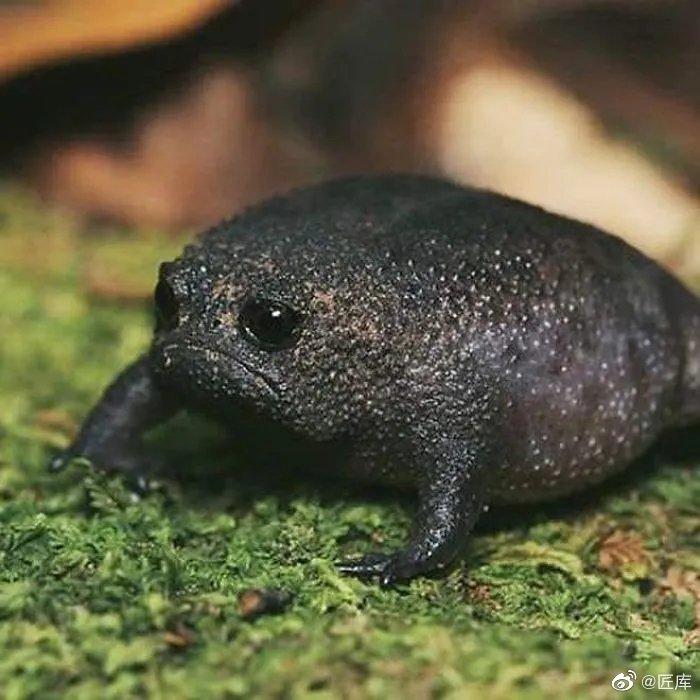 不得不说,非洲雨蛙这种动物,实在长得太像玩具了,哈哈哈哈