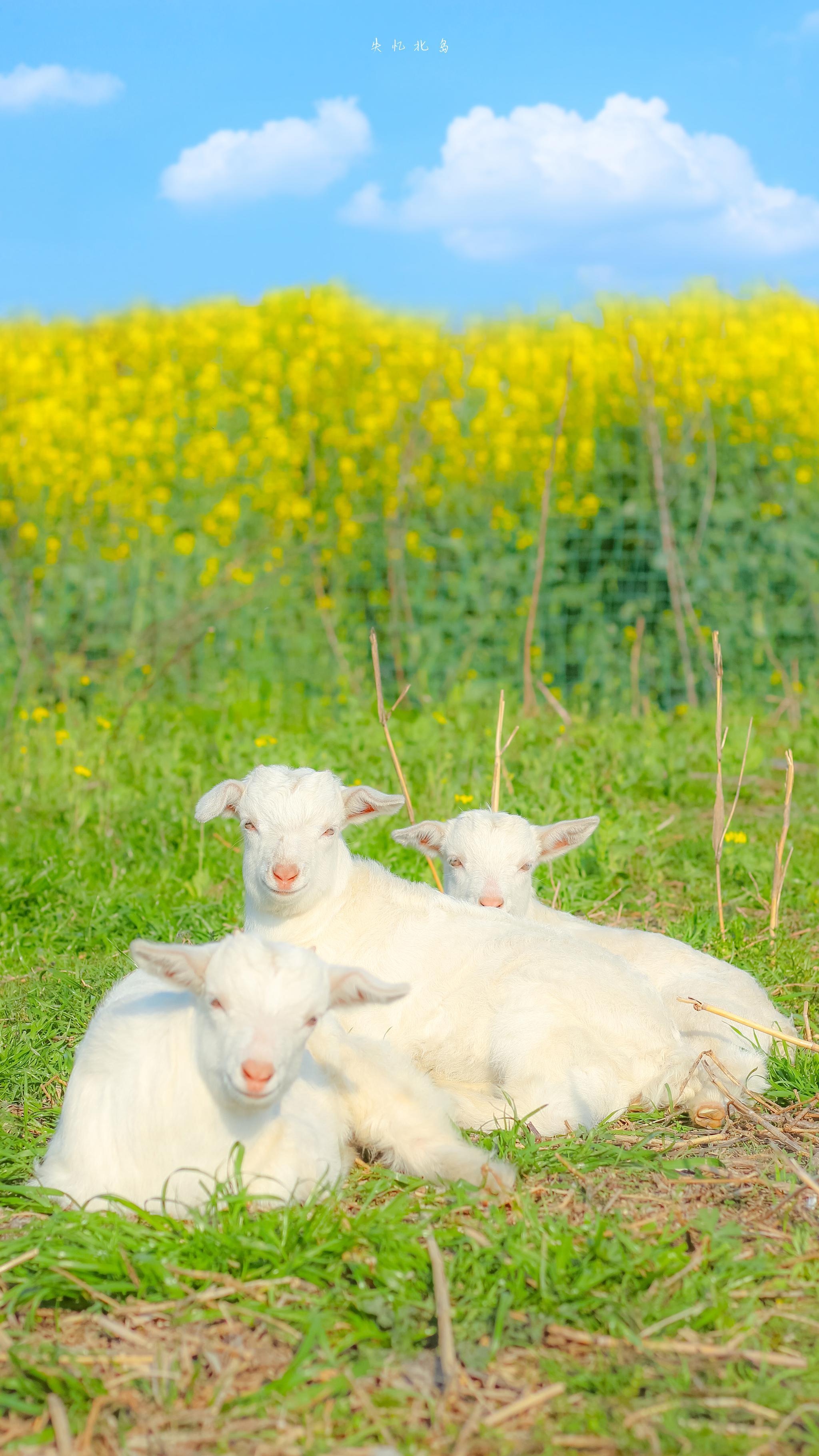 小羊与油菜花在春天的碰面 🐏by@失忆北岛
