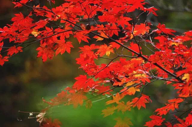 长沙·岳麓山的秋天,停车坐爱枫林晚,霜叶红于二月花!