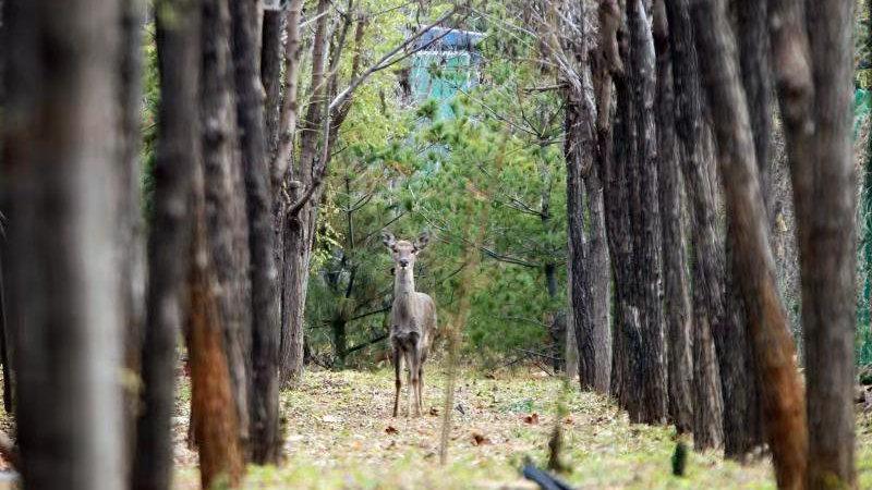 《龙泉湖公园来了只可爱的梅花鹿 》追踪  第二只梅花鹿找到了!