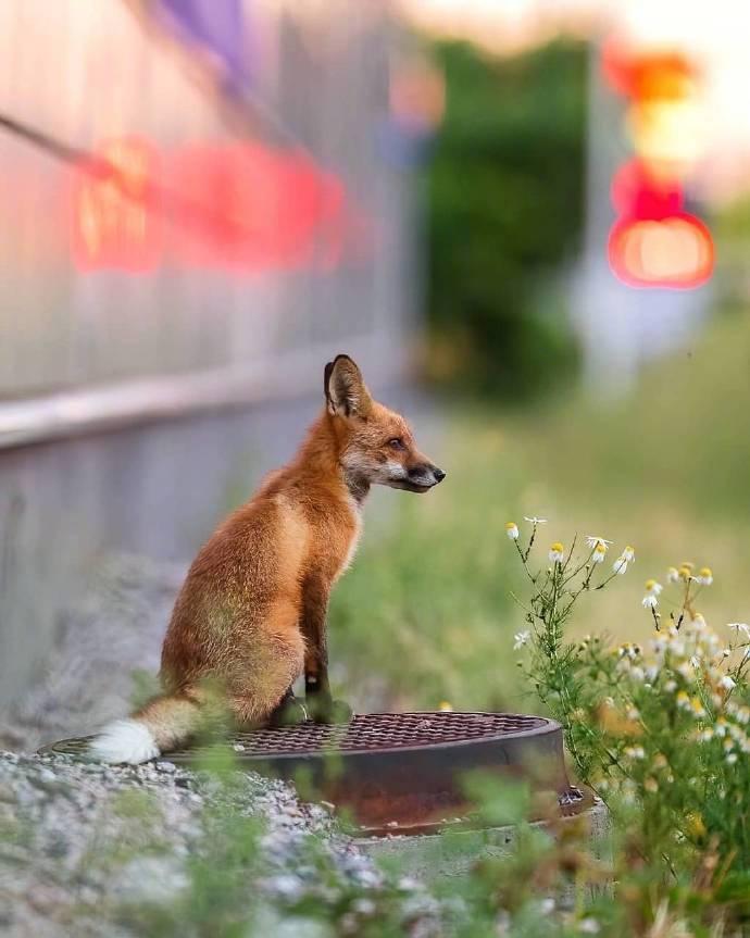 芬兰,赫尔辛基街头的赤狐。Ossi