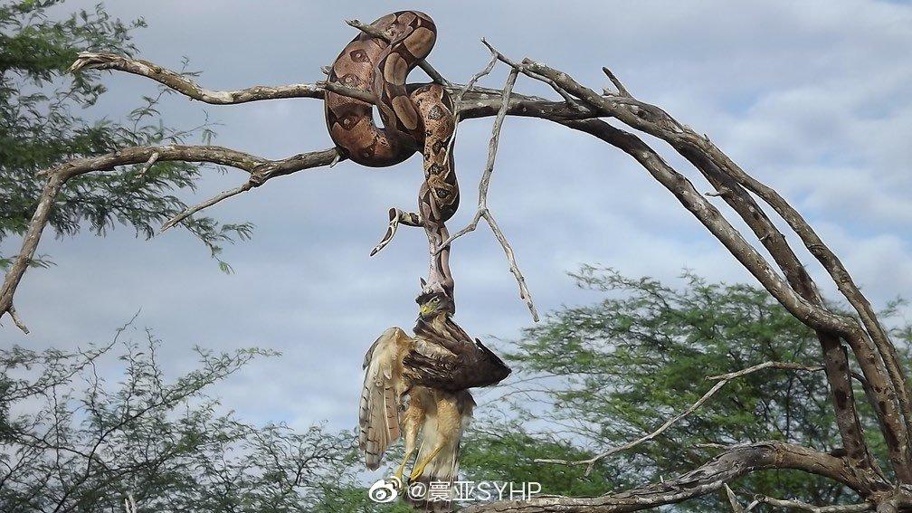 巴西生物学家巴勃罗·苏扎拍摄到蟒蛇捕食鹰的画面