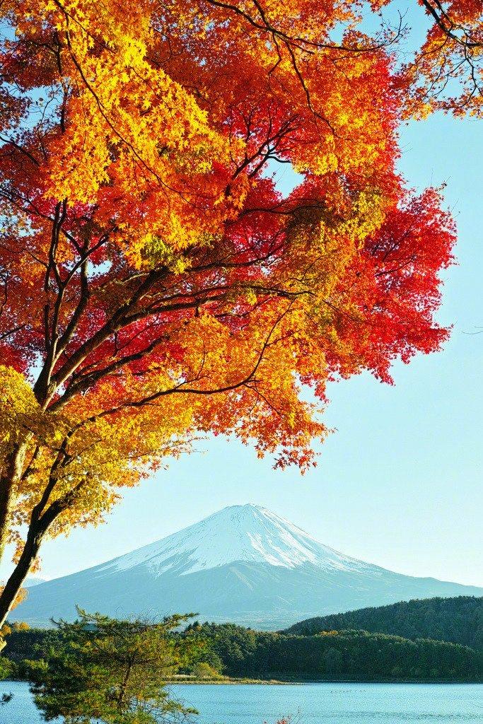 富士山:凝望着富士山的火红的不忍蹂躏的怜爱的秋。