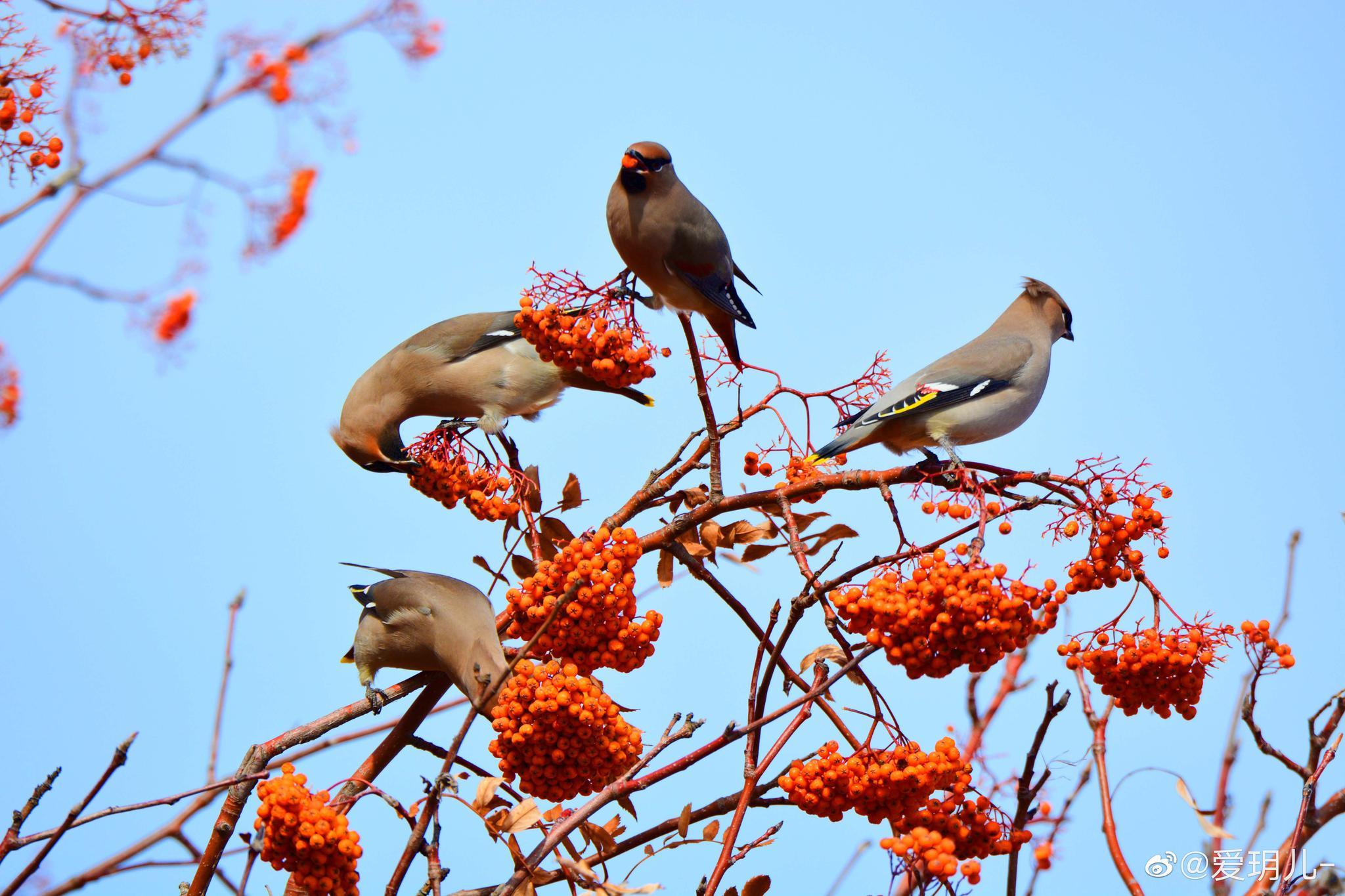 又萌又可爱的太平鸟喜欢吃花楸树的果实