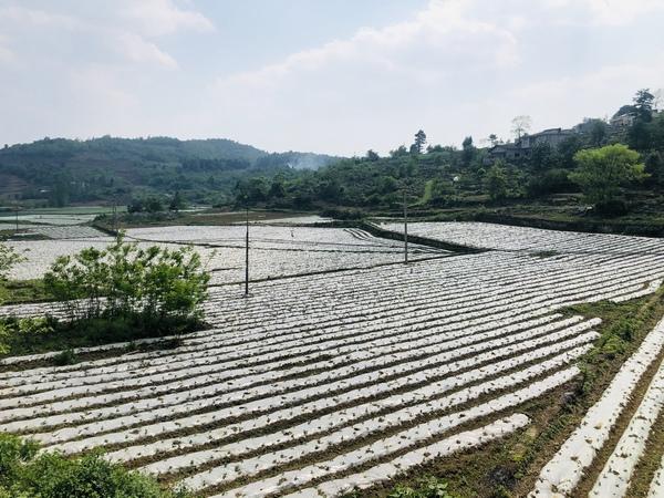 """贵州金沙:""""乡土人才""""胡成莎带动群众做辣椒产业"""