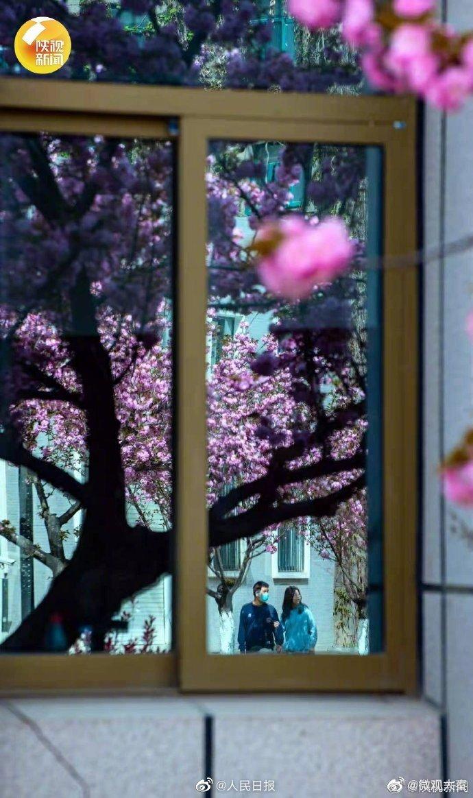 好美!西安交大樱花盛开