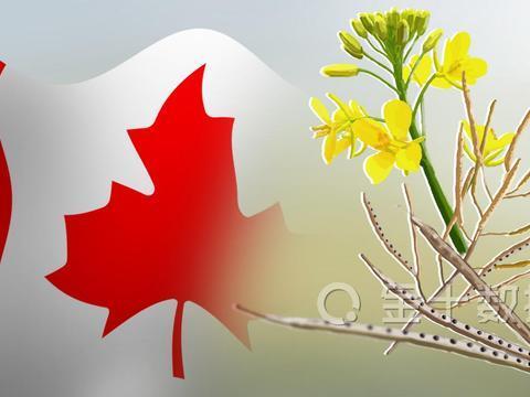 12国限制粮食出口之际,加拿大迎好消息:有望恢复对华出口油菜籽