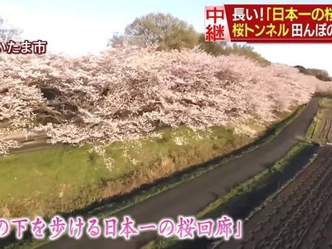 """日本第一""""樱花回廊""""迎来盛开季 人们保持距离安全赏樱"""