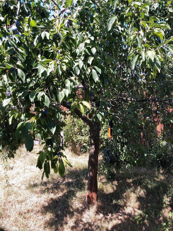 和我妈视频让我妈看我们院子里的这棵树