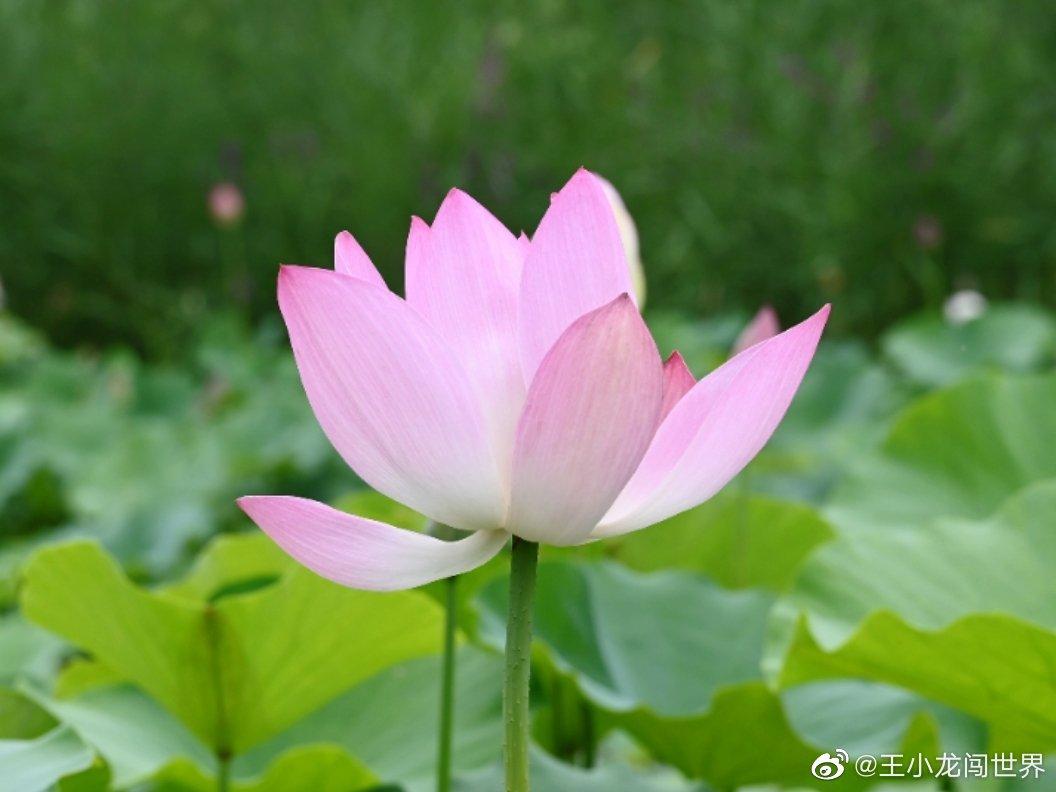 郑州绿博园,荷花盛开,主要分布在江苏园及生态浮岛